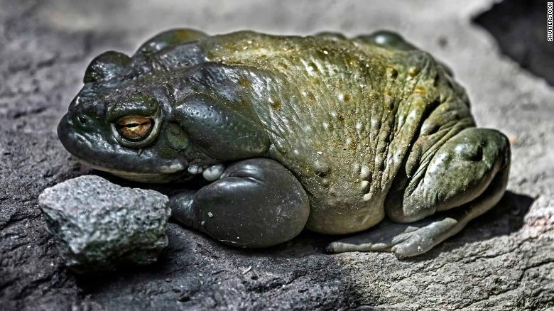 Le crapaud Bufo alvarius, représenté ici dans une image de stock, se trouve en Arizona, au Nouveau-Mexique et au Mexique